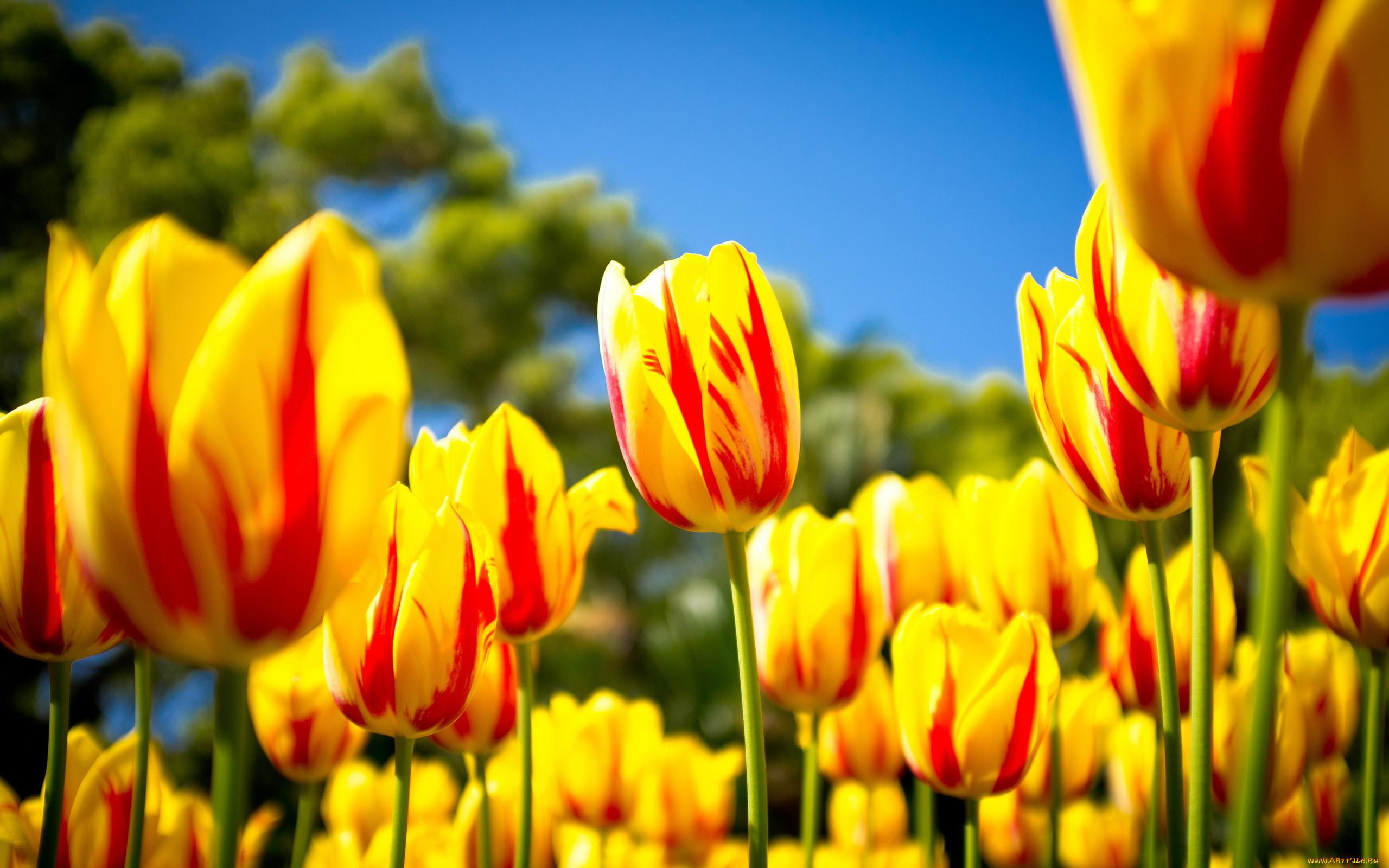 фото на рабочий стол цветы тюльпаны папиллома